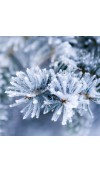 Alpine Frost Fragrance Oil