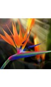 Bird of Paradise Fragrance Oil
