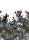 Frosted Juniper & Moss Fragrance Oil