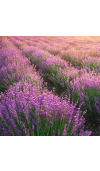 Lavender 40/42 Essential Oil
