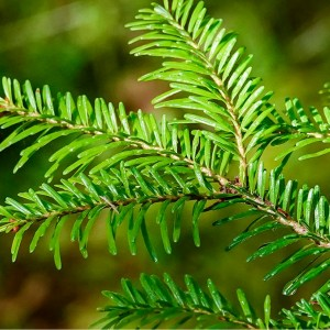 Emerald Balsam