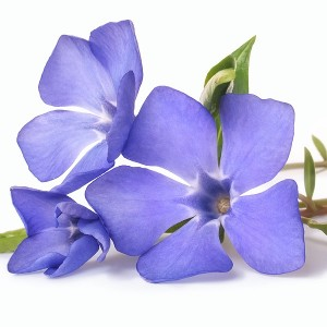 Blue Violet Fragrance Oil