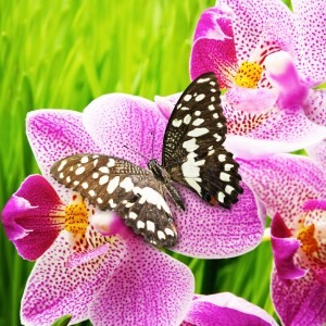 Butterfly Orchid Fragrance Oil