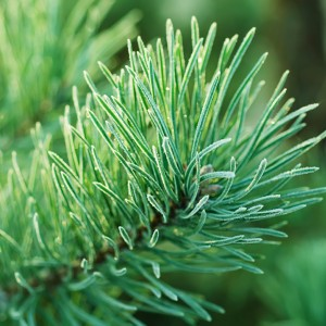Frasier Fir Fragrance Oil