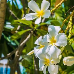 Monoi de Tahiti Fragrance Oil