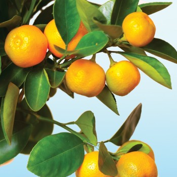 Calamondin Sea Salt Fragrance Oil