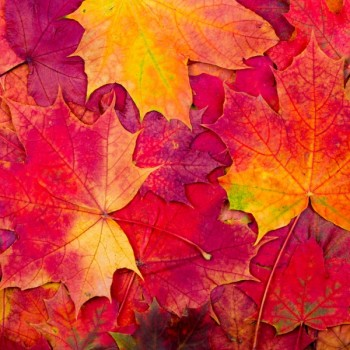 Scarlet Leaves Fragrance Oil