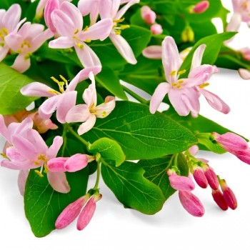 Sweet Honeysuckle Fragrance Oil